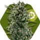 Amnesia Haze XL Autoflowering