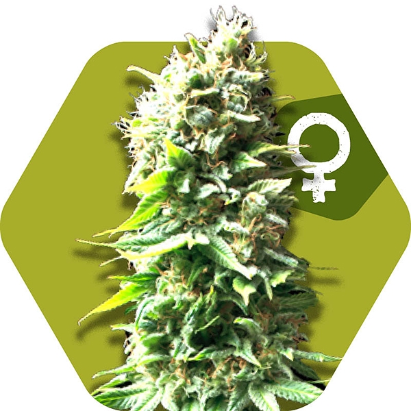 Flowering Times And Photoperiods | Marijuana Seeds
