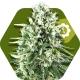 Super Silver Haze Autoflowering