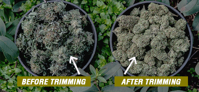 Before and after Trimmed buds
