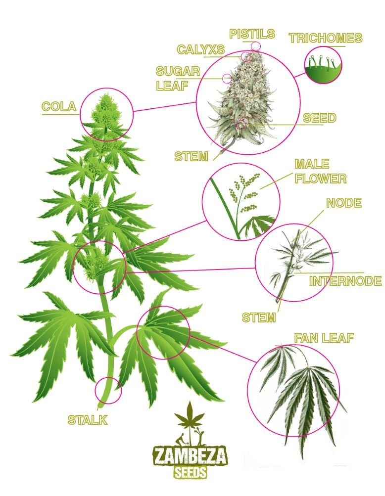 The Anatomy Of A Cannabis Plant