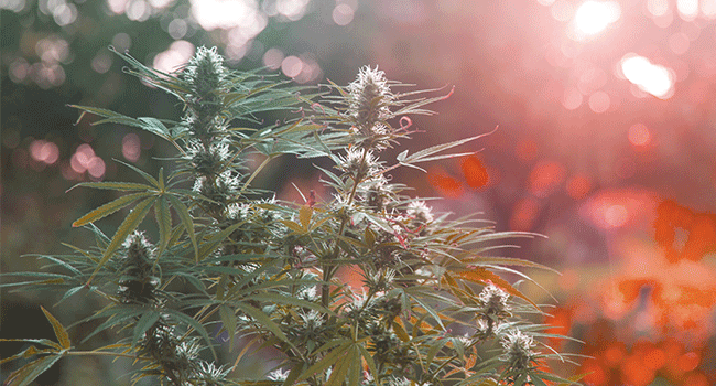 Grow Autoflowering Plants Outdoors