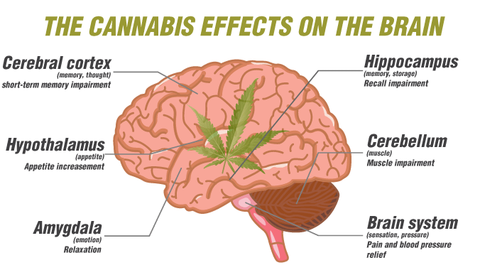 The Cannabi's effects on the brain