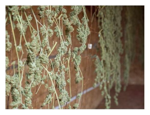 Drying buds