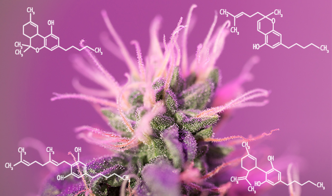 How Cannabis Can Help Combat Inflammation