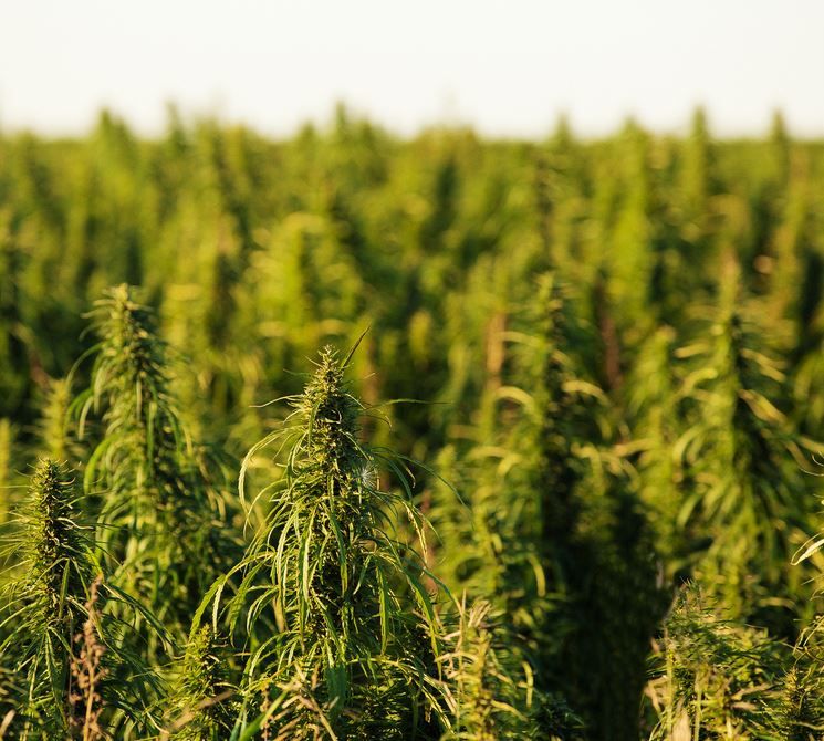 industrial hemp for the future Why industrial hemp could prove a larger economic driver than marijuana viridian's president: if federally legal, the us cannabis market could surpass $100 billion per year.