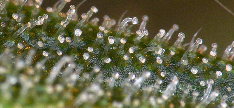 Harvesting cannabis by looking at the trichomes for Cannabis interieur