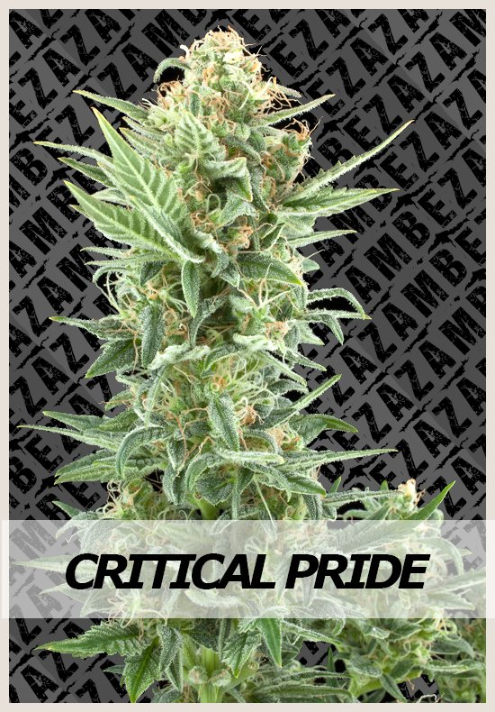 Critical Pride cannabis seeds