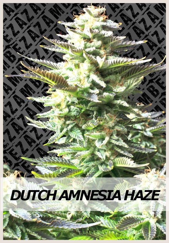 Dutch Amnesia Haze cannabis seeds