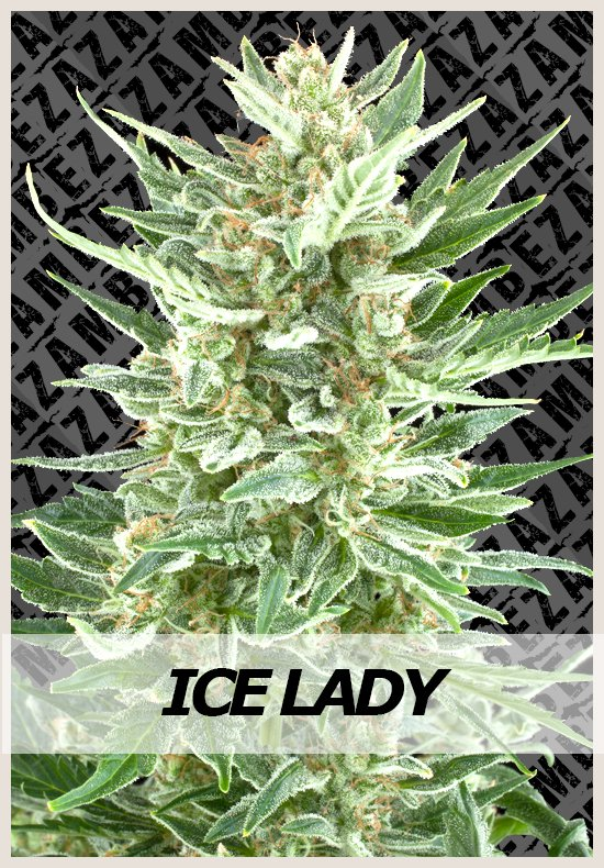 Ice Lady cannabis seeds