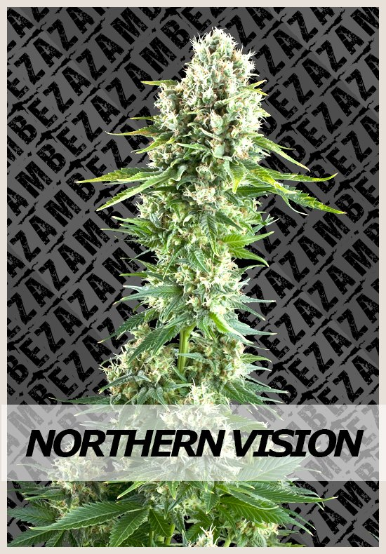 Northern Vision cannabis seeds