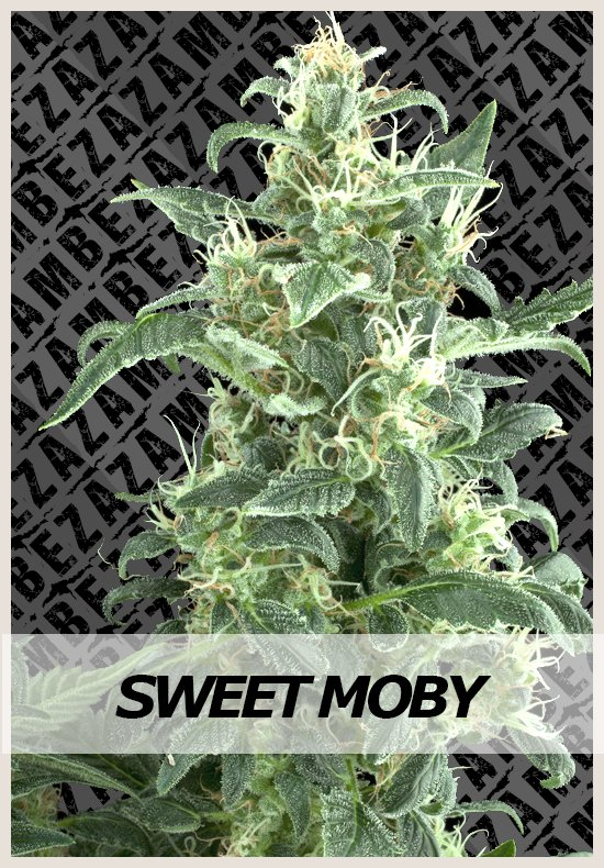 Sweet Moby cannabis seeds