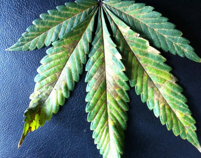 Phosphorus deficiency cannabis