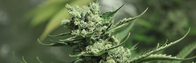tour de magie weed