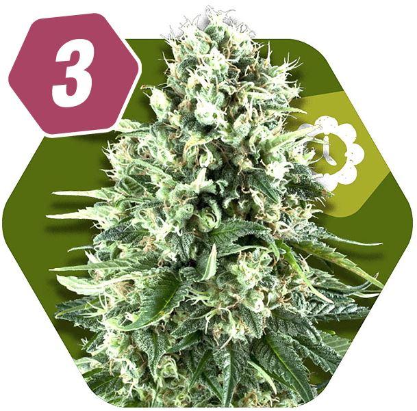 Super Silver Haze Autoflowering Feminzed Cannabis Seeds