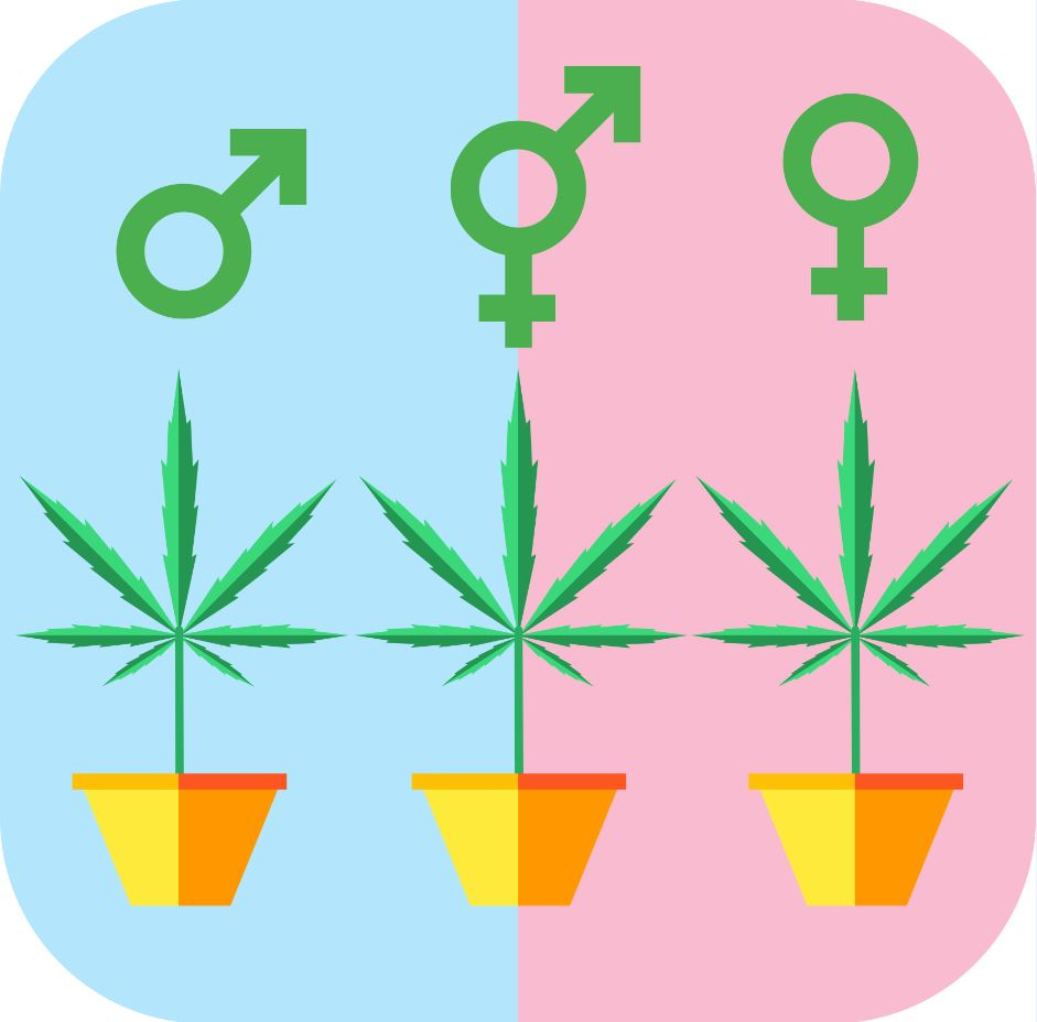 how to tell male vs female marijuana plants
