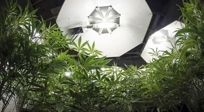 La Quantité Optimale De Lumière Pour les Plantes De Cannabis