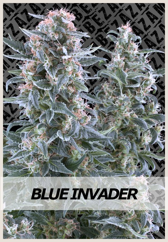 Blue Invader Automatic cannabis seeds