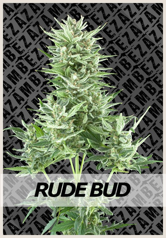 Rude Bud Automatic cannabis seeds