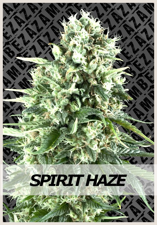Spirit Haze Automatic cannabis seeds