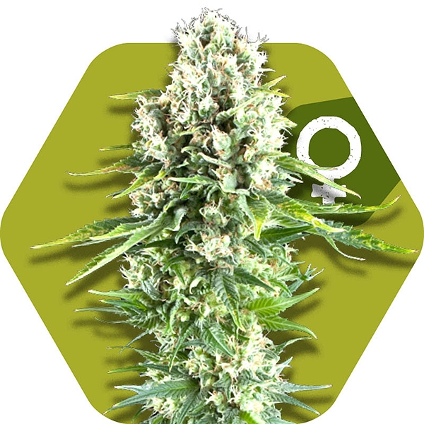 Northern Lights XL feminized cannabis seeds