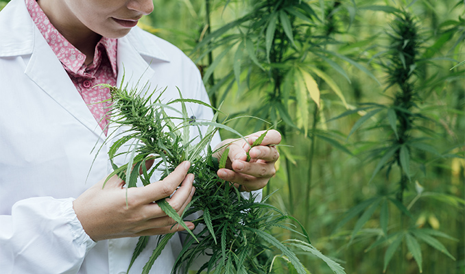 The Impact Of Cannabis On Hypertension