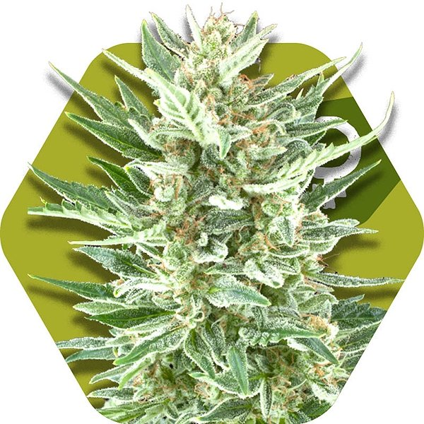 Vanilla Ice Feminized Cannabis Seeds