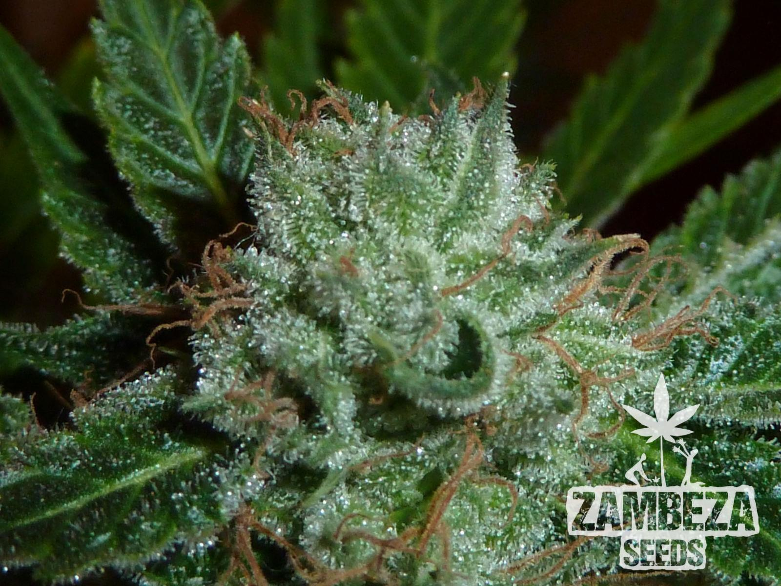 Zambeza Seeds White Widow