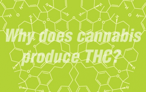 Why Does Cannabis Produce THC?