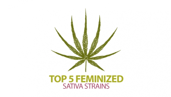 Top 5 Feminized Sativa Cannabis Strains