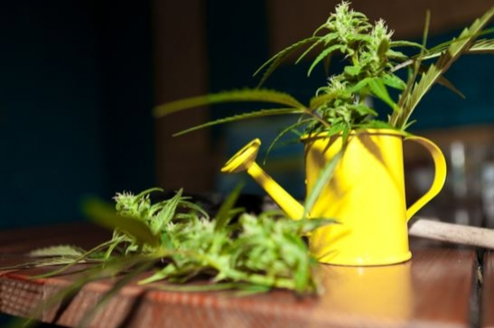 A Guide To Watering Your Cannabis Crop, Indoors And Outside