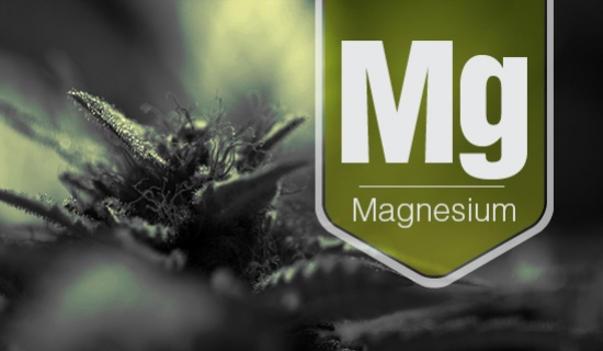Nutrient Shortage In Cannabis: A Magnesium Deficiency Story