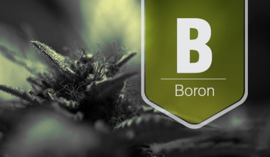 How To Know If Your Cannabis Plants Are Suffering From A Boron Deficiency