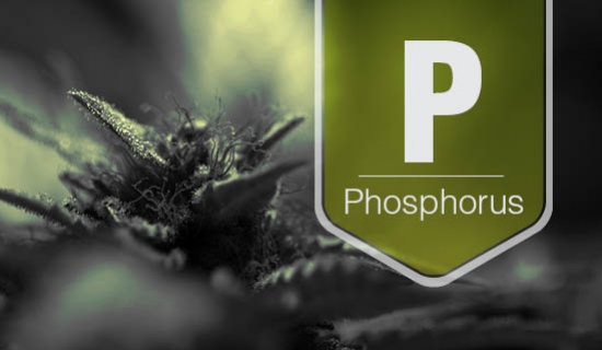 How To Identify And Treat Phosphorus Deficiency In Cannabis