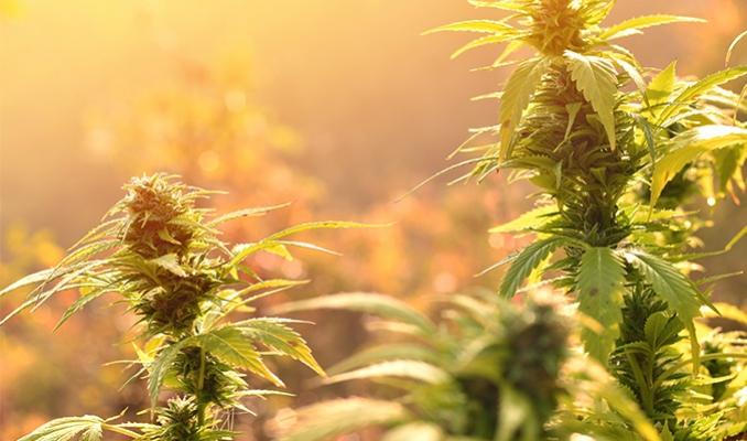 The Complete Guide On How To Grow Cannabis Outdoors