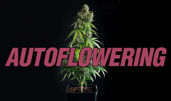 A Guide On Growing Autoflowering Cannabis