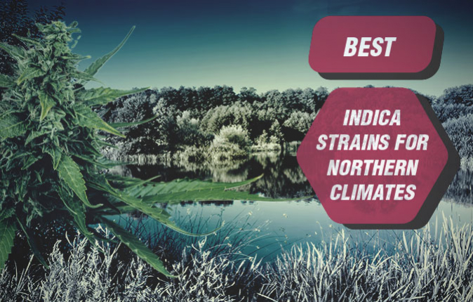 Best Indica Cannabis Strains For Northern Climates