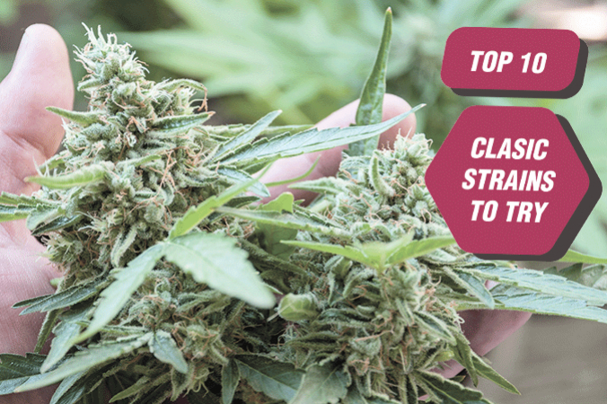 Top 10 Classic Cannabis Strains To Try