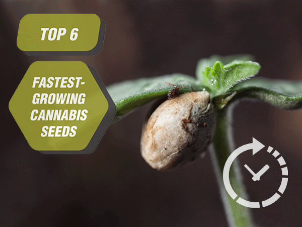 Top 6 Fastest-Growing Cannabis Seeds