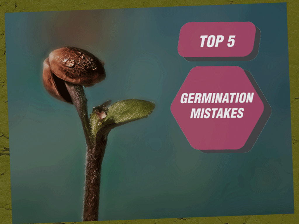 Top 5 Germination Mistakes To Avoid When Growing Weed