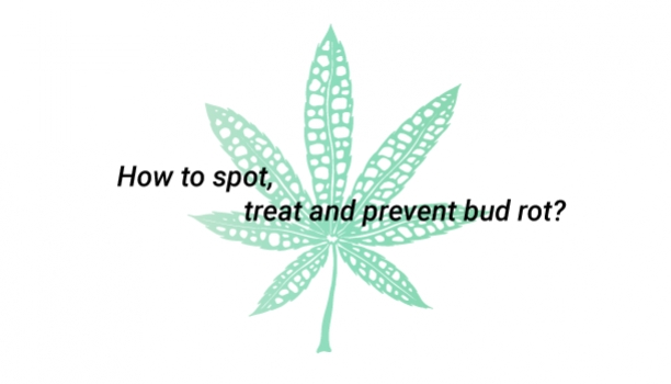 How to spot, treat and prevent bud rot?