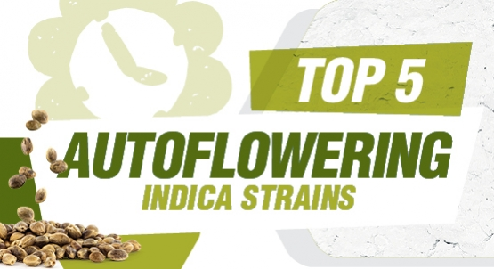 Top 5 Autoflowering Indica Strains