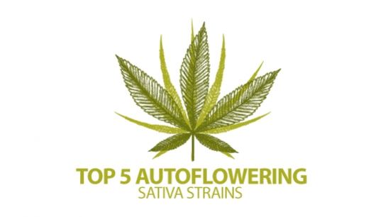 Top 5 Autoflowering Sativa Cannabis Strains