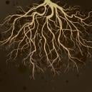 Healthy Roots For Cannabis Plants