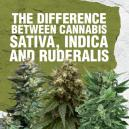 Difference between Cannabis Sativa, Indica and Ruderalis