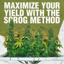 Maximize Your Yield With The Scrog Method