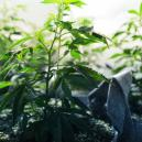 The Vegetative Phase Of Cannabis