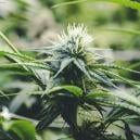 The Flowering Phase Of Cannabis