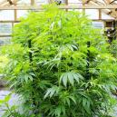 How To Prevent Your Indoor Cannabis Plants From Growing Too Big