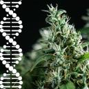 How To Breed And Preserve Your Own Cannabis Genetics